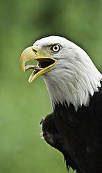 Bald_Eagle3.jpg