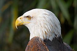 Bald_Eagle_Bronx_Zoo_.jpg