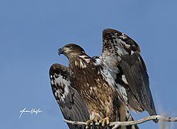 Bald_Eagle_Juvenile_21620_850_4327-2.jpg