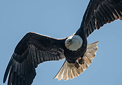 Bald_Eagle_Lost_Lake_Nisqually_May_2021-1.JPG