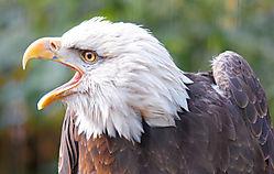 Bald_Eagle_Talking_Bronx_Zoo_.jpg