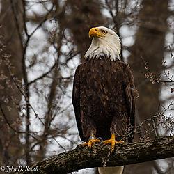 Bandit_-_An_Eagle_on_the_James_River-2.jpg
