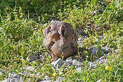 Barbary_Partridge-4807.jpg