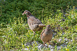 Barbary_Partridge-4812.jpg