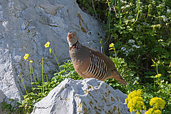 Barbary_Partridge-4936.jpg