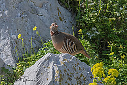Barbary_Partridge-4972.jpg