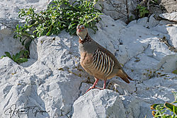 Barbary_Partridge-5030.jpg