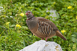 Barbary_Partridge-5115.jpg