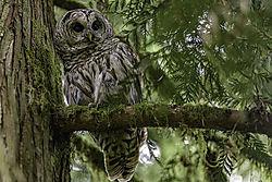 Bard_owl_at_Jerrys.jpg