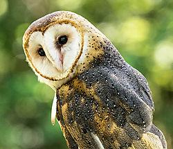 Barn_Owl_2_2.jpg