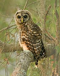 Barred_Owl-Eye_Contact1.jpg