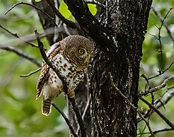 Barred_Owlet_looking_for_prey_1_of_1_.jpg