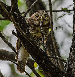 Barred_Owlet_with_catch_1_of_1_-2.jpg
