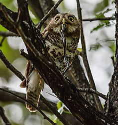 Barred_Owlet_with_catch_1_of_1_.jpg