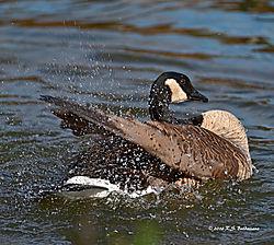 Bathing-Goose-PPW.jpg