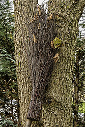 Baum_mit_Besenkopf.jpg
