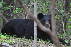 Bear_on_ground_E.jpg
