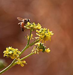 Bee_On_Mustard_-_190429_DSC7513_-_v1.jpg