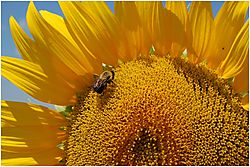 Bee_on_a_Sunflower.jpg