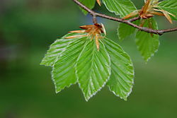 Beech_leaves.JPG