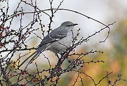 BirdInBarberry_3.jpg