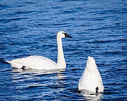 Birds-Tundra_swans-722665-2018_01_06.jpg