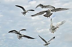 Birds_looking_for_food.JPG