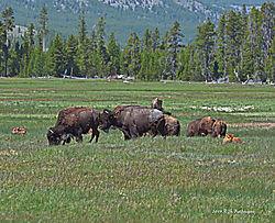 Bison-Picnic-PPW.jpg
