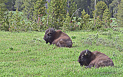 Bison-basking-in-the-sun-PPW.jpg