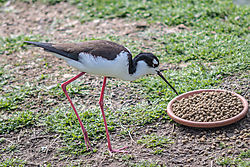 Black-necked_Stilt1.jpg