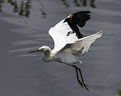 Black_Bird_Attack.jpg