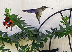 Black_Chinned_Hummingbird_01.jpg