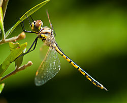 Black_and_Gold_Dragonfly_3.jpg