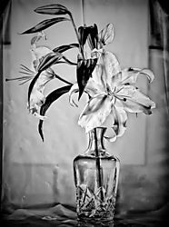 Black_and_White_Lilly-1.jpg