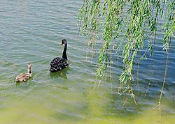 Black_swan_1.JPG