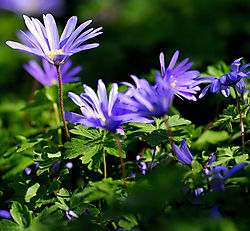 Blue-Compositae.jpg