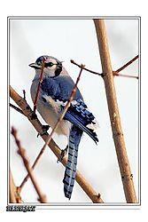 BlueJay_Bird_500mm_f8_vert_37_ccop_frame.jpg
