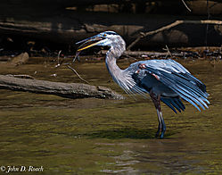 Blue_Heron_with_Lunch-1.jpg