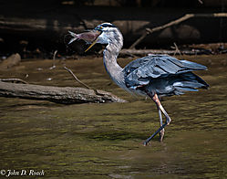 Blue_Heron_with_Lunch-2.jpg