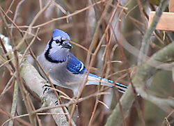 Blue_Jay_Cropped_1_of_1_.jpg
