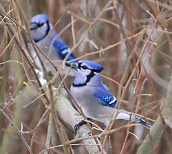 Blue_Jays_Cropped_1_of_1_.jpg