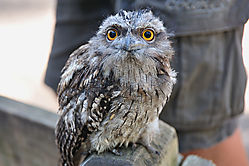 Blue_Mountains_164_Featherdale_Wildlife_Park_-_Tawny_Frogmouth.jpg
