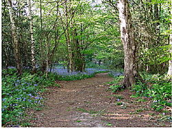 Bluebell_walk_Nap_Wood_Sussex.JPG