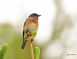 Bluebird12.jpg