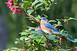 Bluebird22.jpg