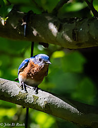 Bluebird_in_the_Tree-2.jpg