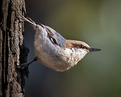 Brown-Headed_Nuthatch-07953-2.jpg
