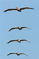 Brown-Pelicans.jpg