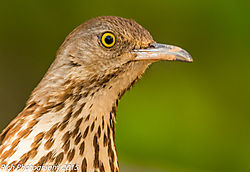 Brown_Thrasher_Portrait.jpg