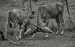 BuckingAntelopes-5.jpg